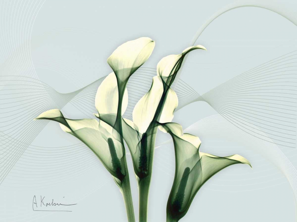 .,Floral,Nature,Photography,Botanical ,X-Ray,AK5-RC-038A,Calla Lily L275,Koetsier, Albert,Horizontal