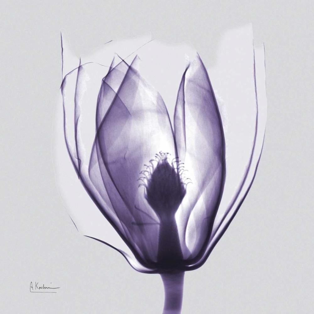 konfigurieren des Kunstdrucks in Wunschgröße Purple Tulip Bud on Purple von Koetsier, Albert