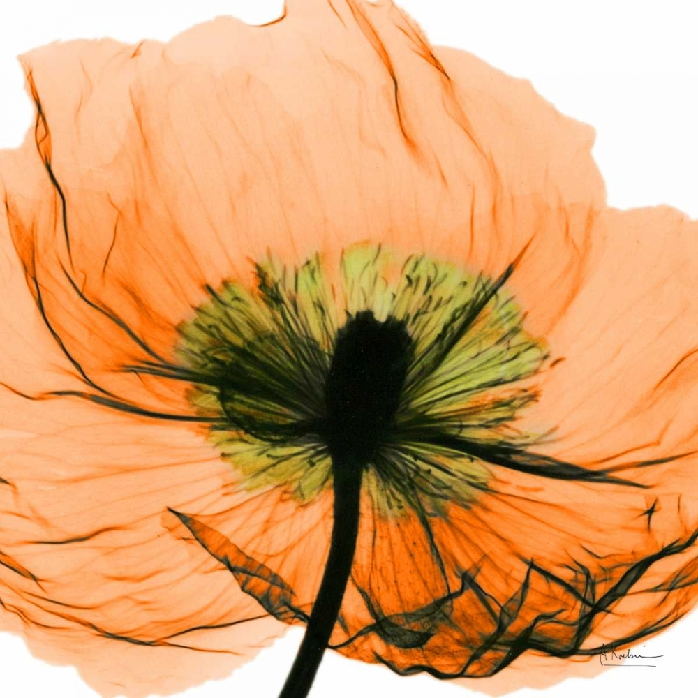 X-Ray,xray,radiology,Floral,Botanical ,X-Ray,,,AKZ-SQ-308A5,Poppy Orange,Koetsier, Albert,Square