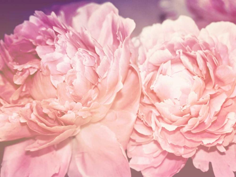 konfigurieren des Kunstdrucks in Wunschgröße Pink Peony von Davis Ashley