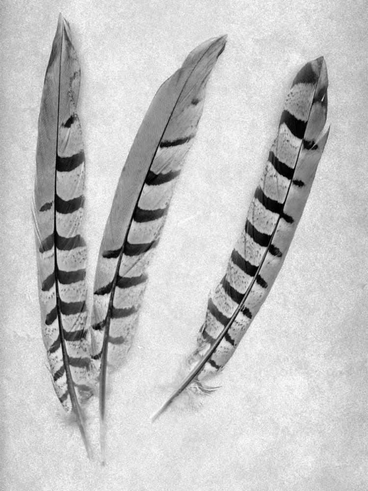 konfigurieren des Kunstdrucks in Wunschgröße Feathers B-W - 1 von Blaustein, Alan