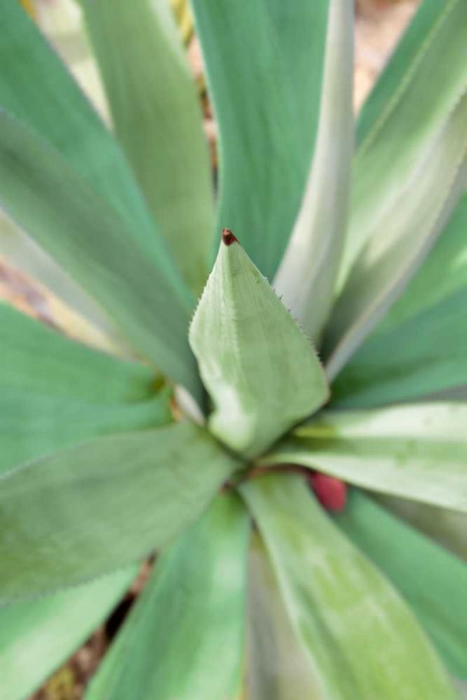 konfigurieren des Kunstdrucks in Wunschgröße Agave Succulent #2 von Blaustein, Alan
