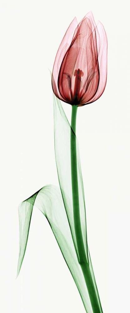 Tulip II von Coop, Robert <br> max. 41 x 102cm <br> Preis: ab 10€