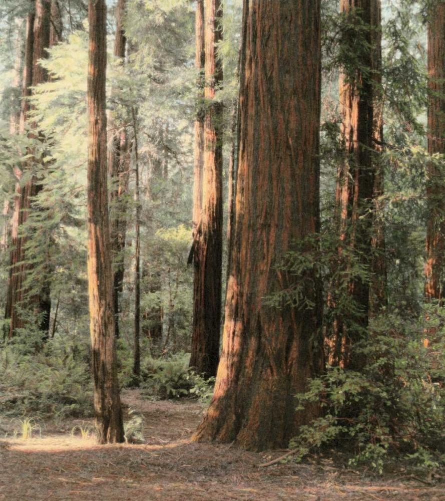 konfigurieren des Kunstdrucks in Wunschgröße Redwoods 2 von Culver, Laura
