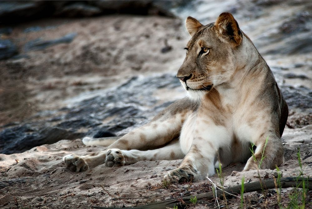 Niassa Lion Project