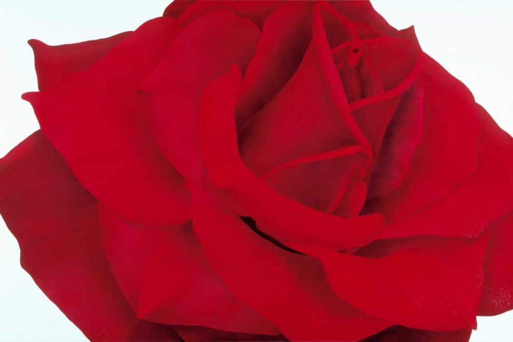 konfigurieren des Kunstdrucks in Wunschgröße Red Rose von Poelstra-Holzhaus, Yvonne