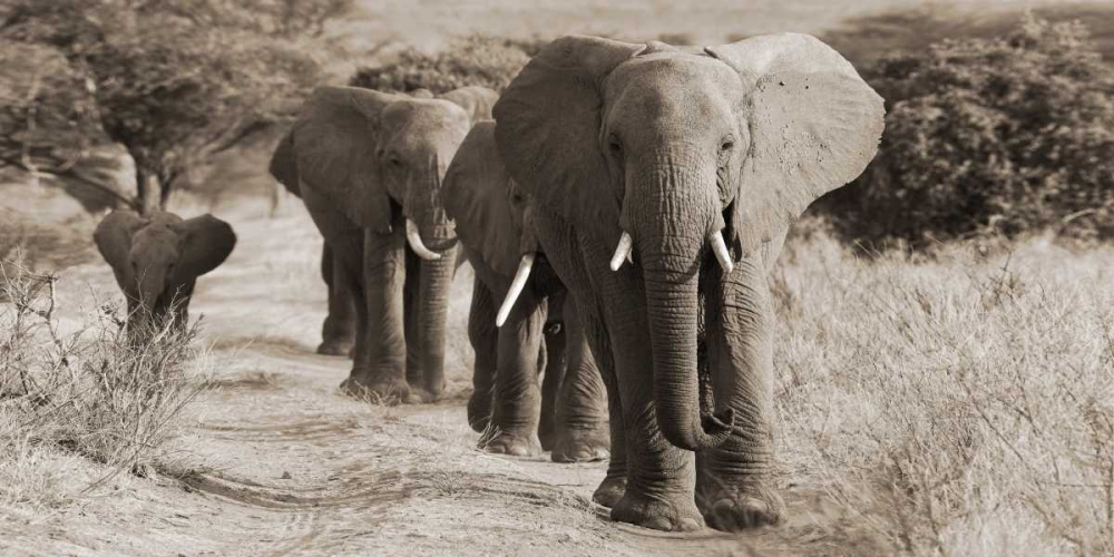 Herd of African Elephants- Kenya von Anonymous <br> max. 213 x 107cm <br> Preis: ab 10€