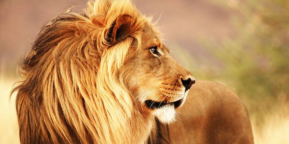 konfigurieren des Kunstdrucks in Wunschgröße Male lion, Namibia (detail) von Anonymous