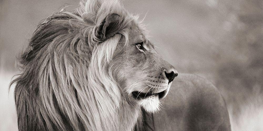 konfigurieren des Kunstdrucks in Wunschgröße Male lion, Namibia (detail, BW) von Anonymous