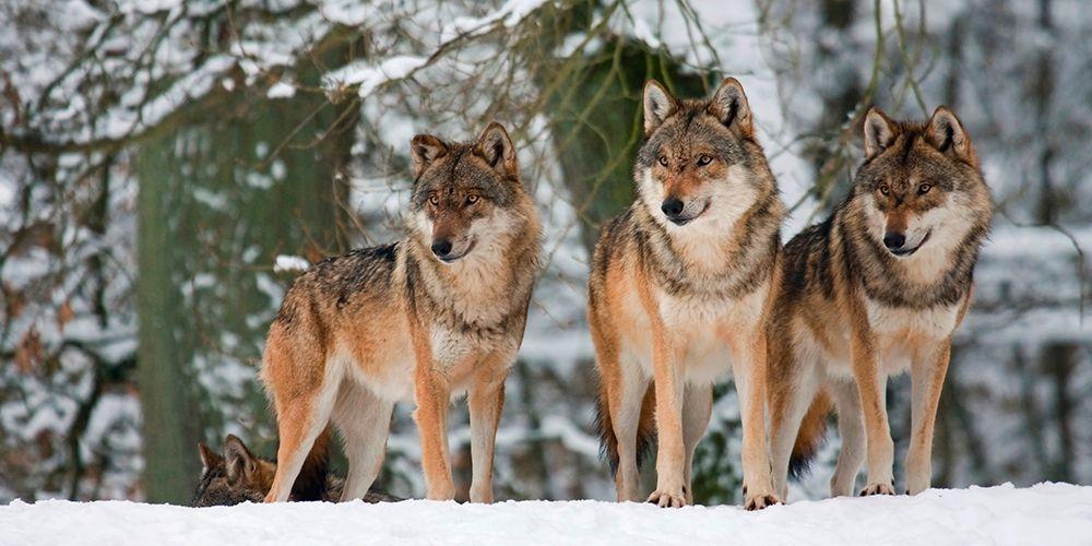konfigurieren des Kunstdrucks in Wunschgröße Wolves in the snow, Germany (detail) von Anonymous