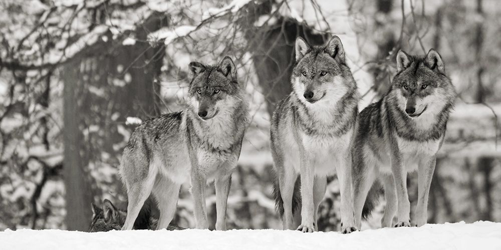 konfigurieren des Kunstdrucks in Wunschgröße Wolves in the snow, germany (detail, BW) von Anonymous