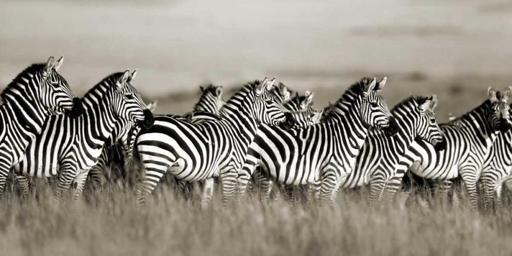 konfigurieren des Kunstdrucks in Wunschgröße Grants zebra, Masai Mara, Kenya von Krahmer, Frank