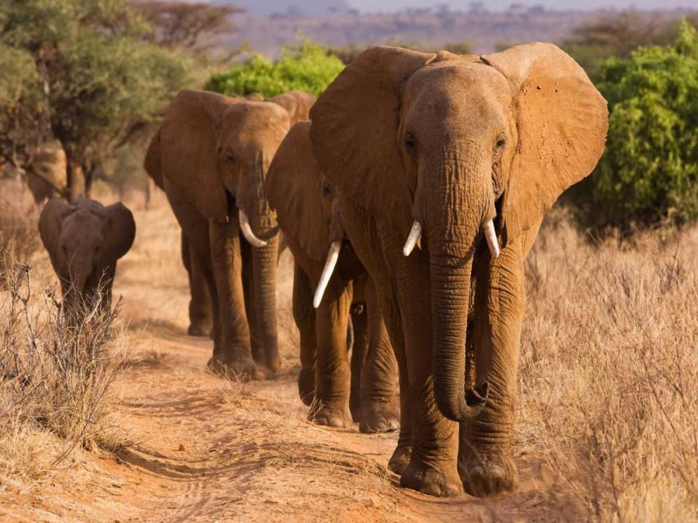konfigurieren des Kunstdrucks in Wunschgröße Herd of African Elephants- Kenya von Anonymous