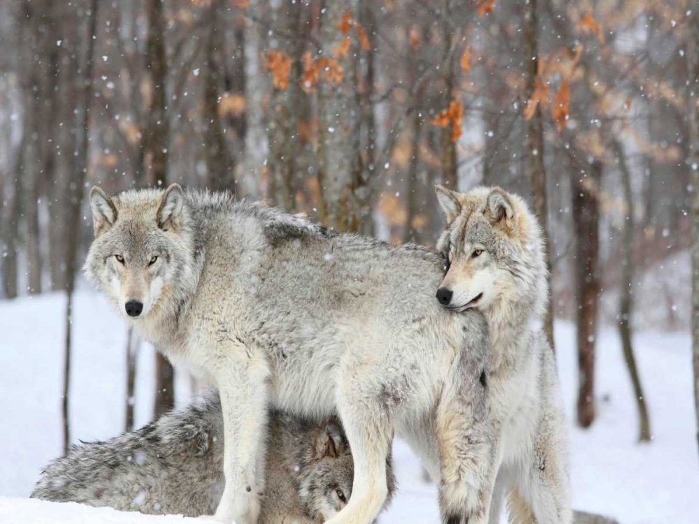 konfigurieren des Kunstdrucks in Wunschgröße Three grey wolves huddle together during a Quebec snowstorm von Anonymous