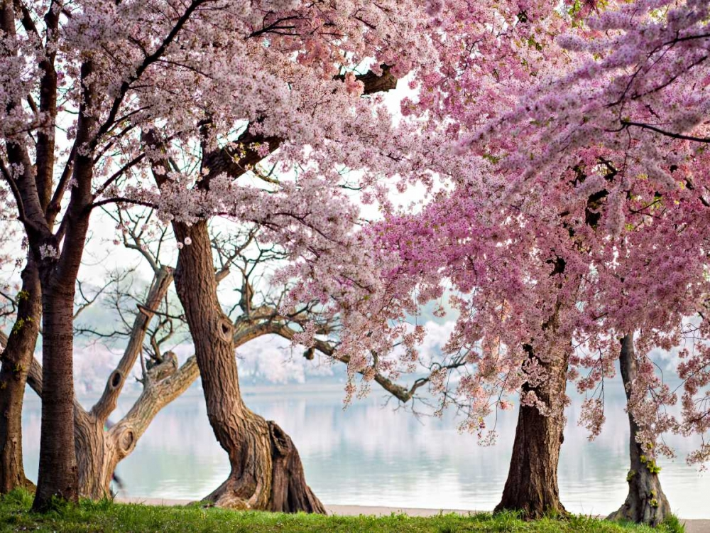konfigurieren des Kunstdrucks in Wunschgröße A row of cherry trees bloom at sunrise on the edge of the tidal basin. Washington- USA von Anonymous