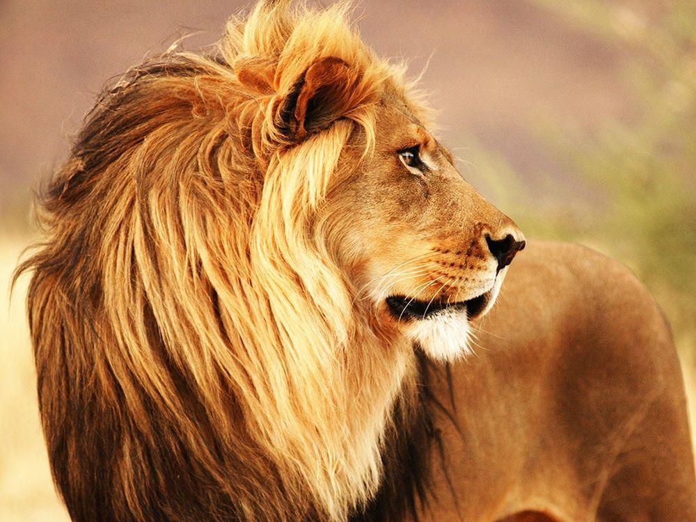 konfigurieren des Kunstdrucks in Wunschgröße Male lion, Namibia von Anonymous