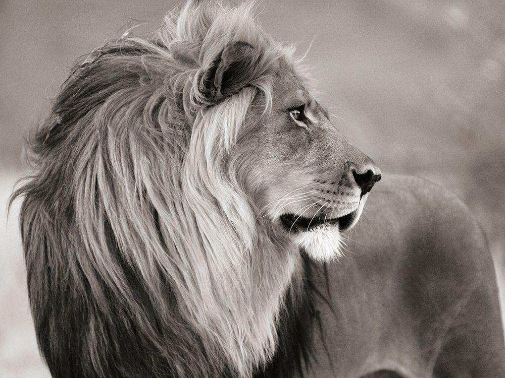 konfigurieren des Kunstdrucks in Wunschgröße Male lion, Namibia (BW) von Anonymous