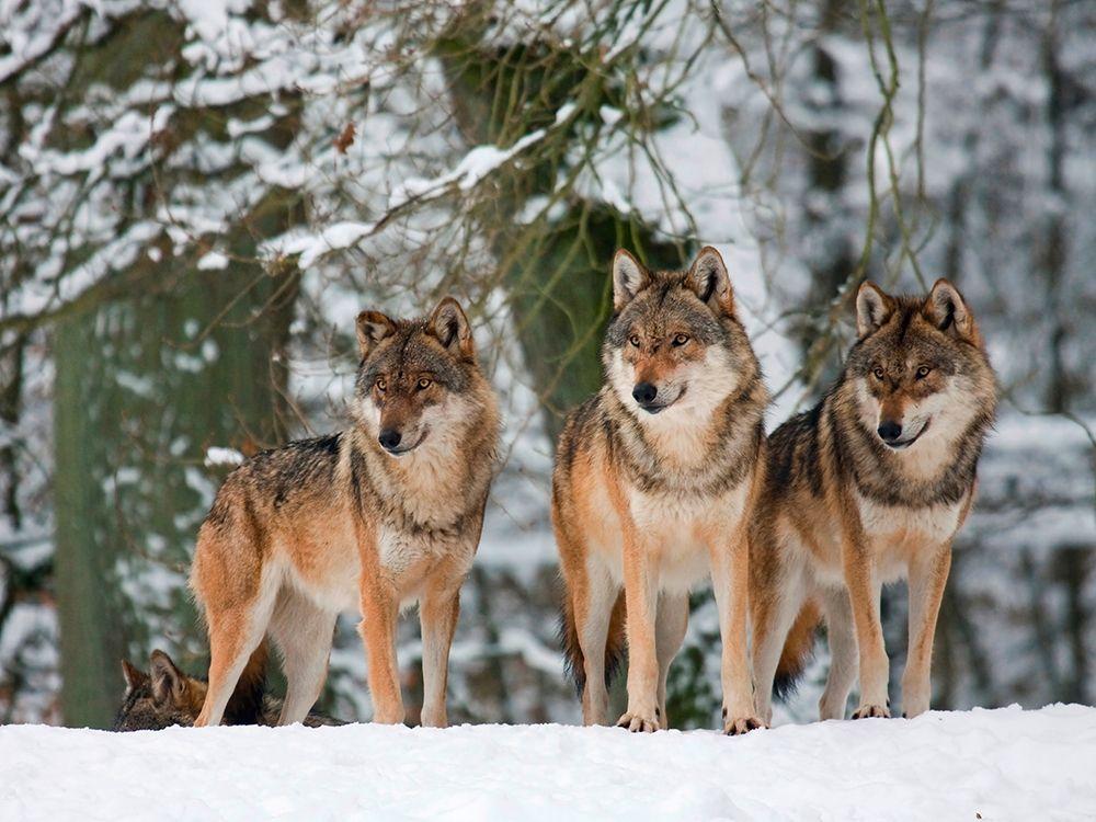 konfigurieren des Kunstdrucks in Wunschgröße Wolves in the snow, Germany von Anonymous