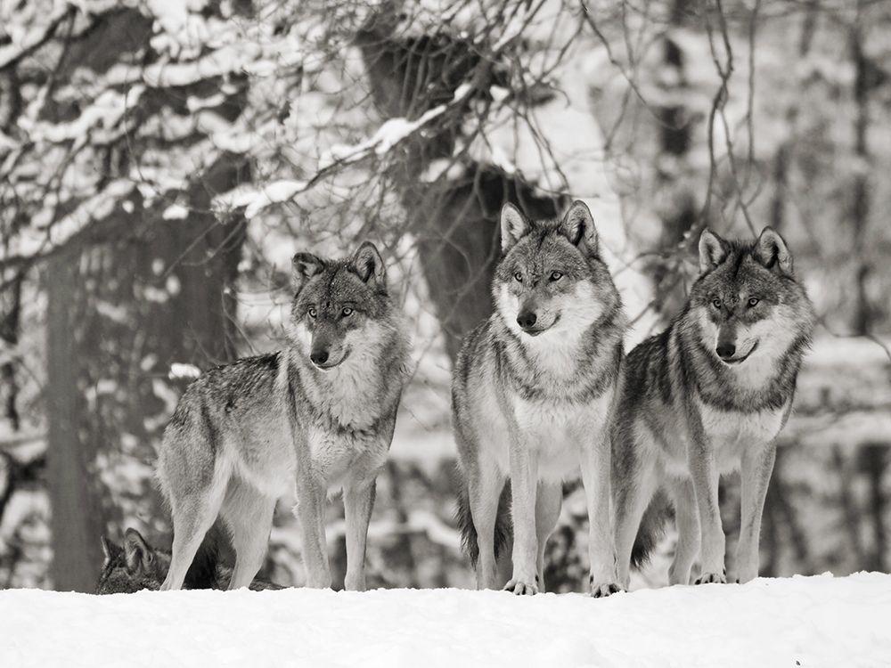 konfigurieren des Kunstdrucks in Wunschgröße Wolves in the snow, Germany (BW) von Anonymous