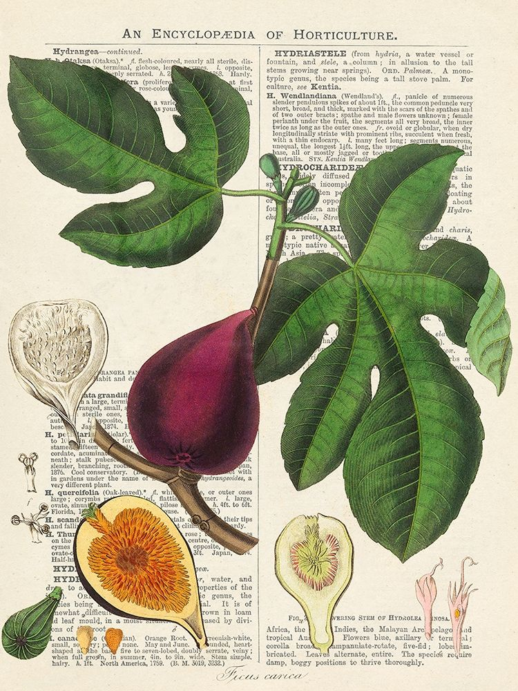 konfigurieren des Kunstdrucks in Wunschgröße Fruits de saison, Figues von Dellal, Remy