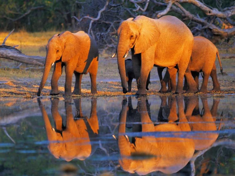 konfigurieren des Kunstdrucks in Wunschgröße African elephants, Okavango, Botswana von Krahmer, Frank