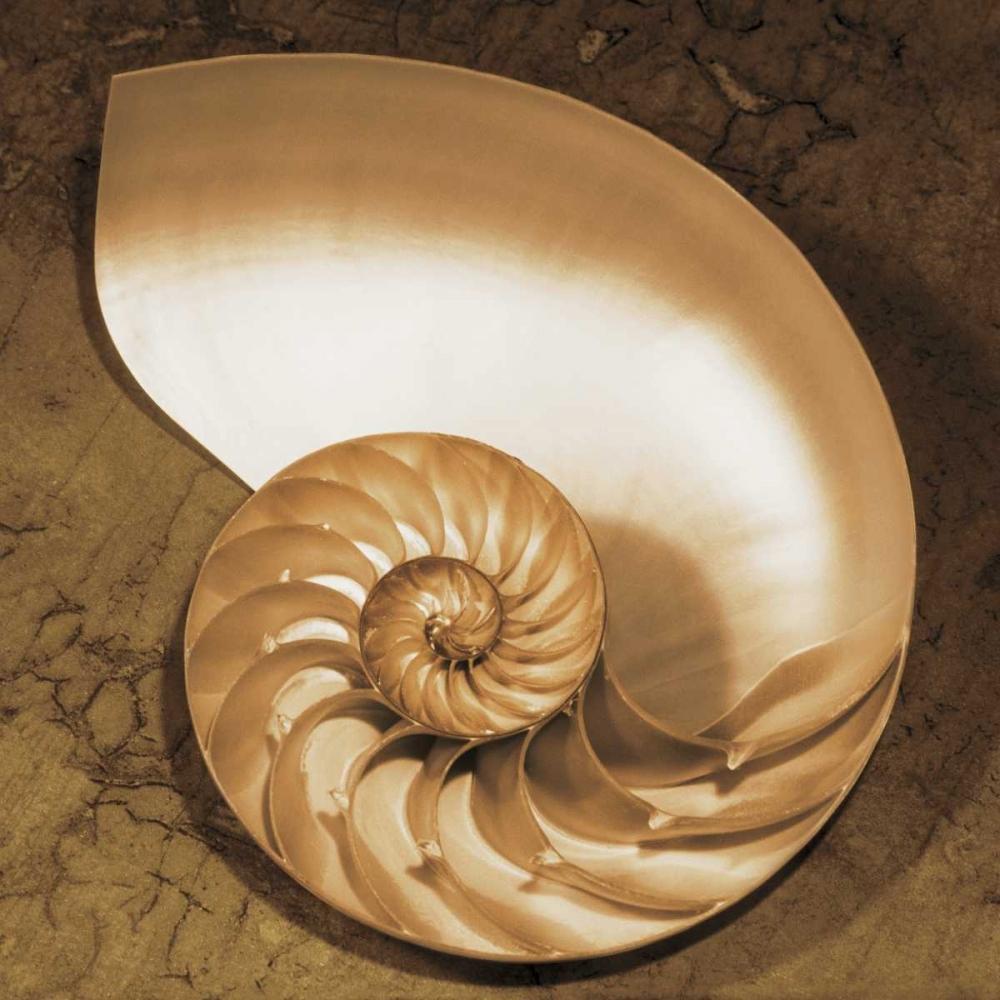 konfigurieren des Kunstdrucks in Wunschgröße Chambered Nautilus von Kelly, Caroline