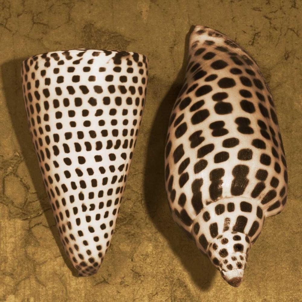 konfigurieren des Kunstdrucks in Wunschgröße Cone Seashell von Kelly, Caroline