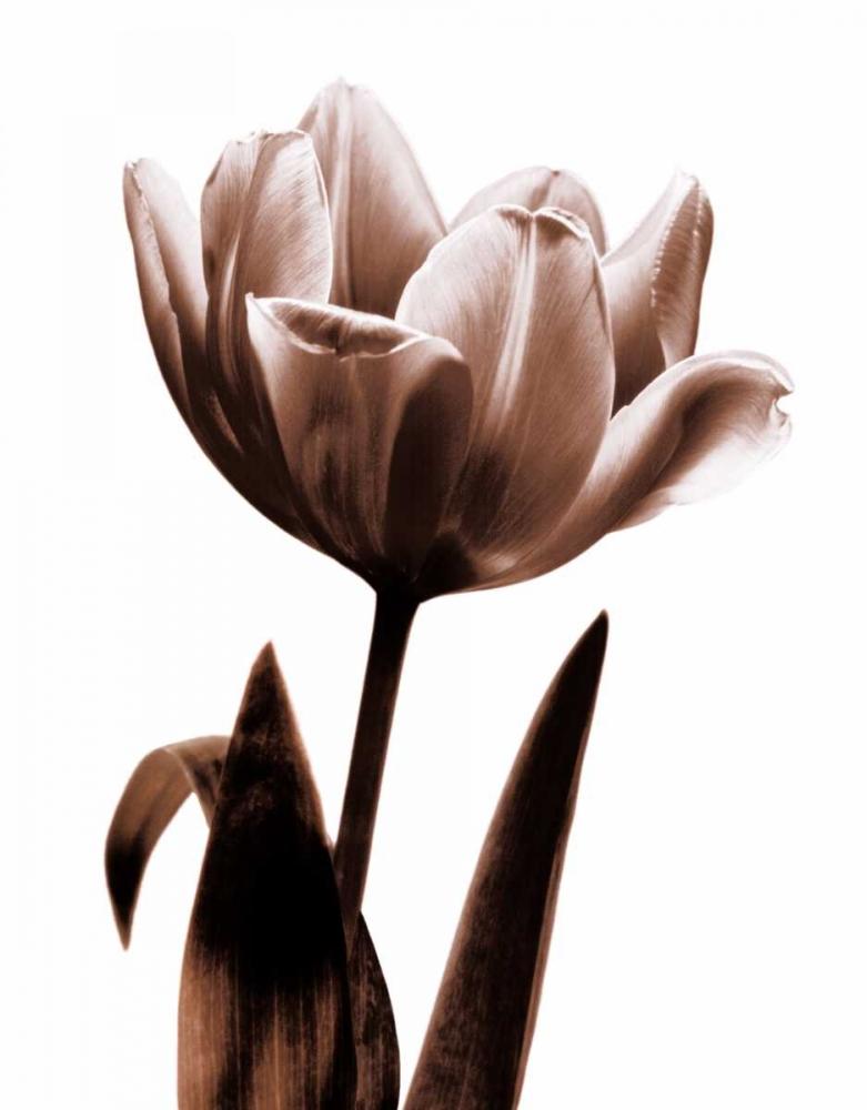 konfigurieren des Kunstdrucks in Wunschgröße Tulip in Sepia I von Kelly, Caroline
