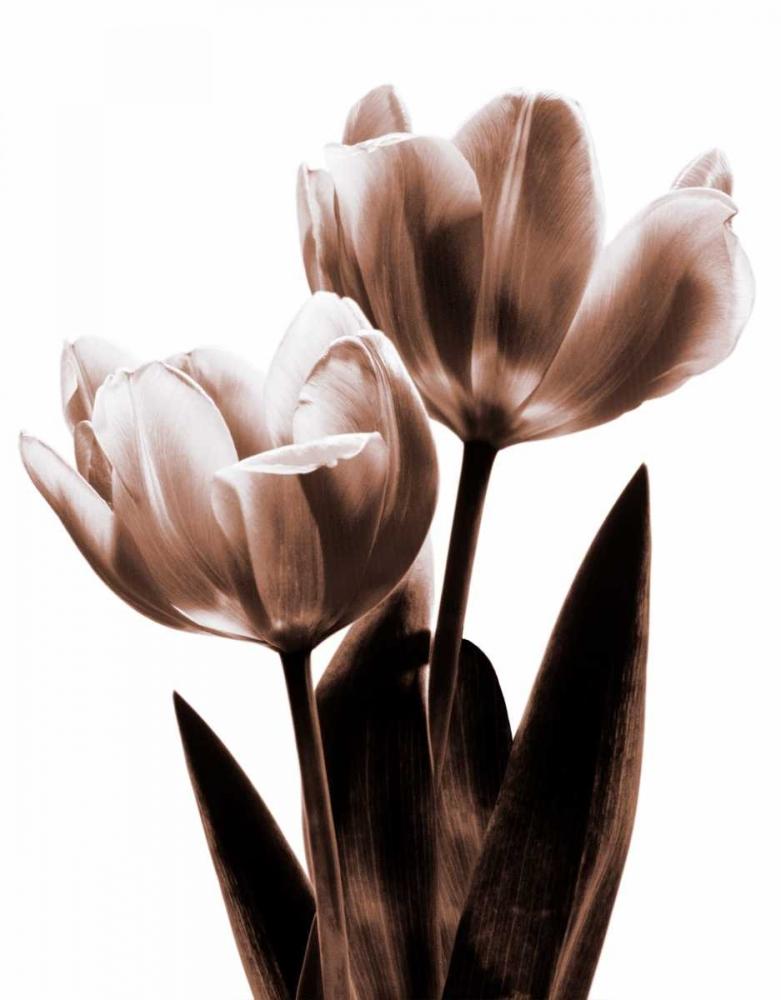 konfigurieren des Kunstdrucks in Wunschgröße Tulip in Sepia II von Kelly, Caroline