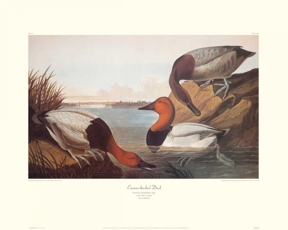 konfigurieren des Kunstdrucks in Wunschgröße Canvas-Backed Duck (decorative border) von Audubon, John James