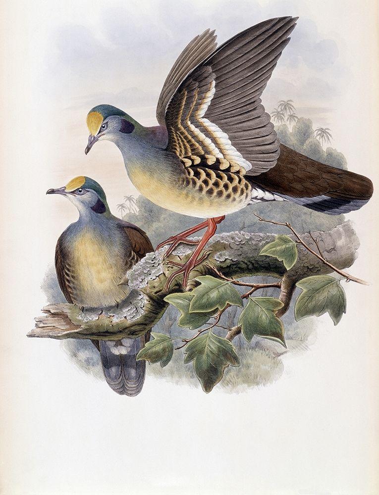 konfigurieren des Kunstdrucks in Wunschgröße Branded Pigeon von Gould, John