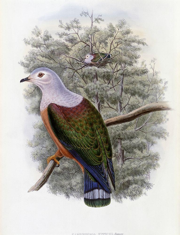 konfigurieren des Kunstdrucks in Wunschgröße Finschs Fruit-Pigeon von Gould, John