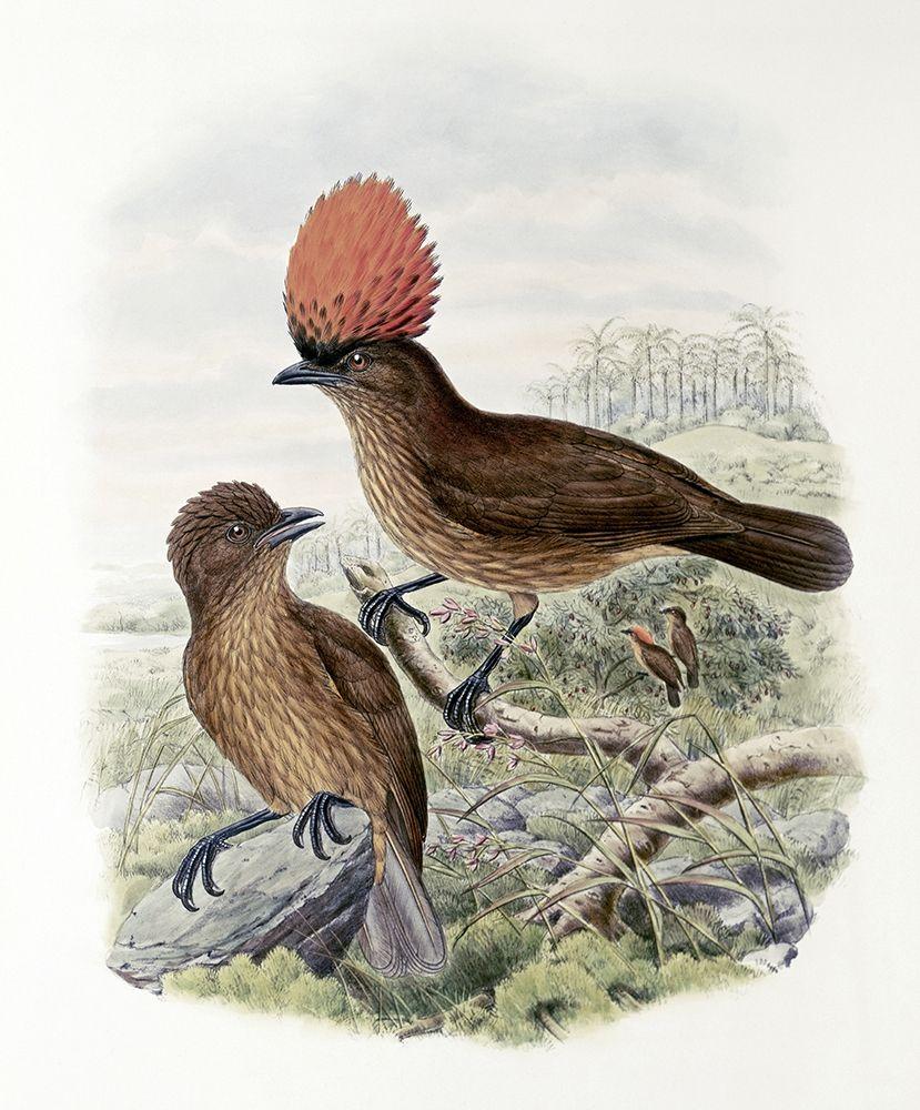 konfigurieren des Kunstdrucks in Wunschgröße Orange-Crested Bower-Bird von Gould, John