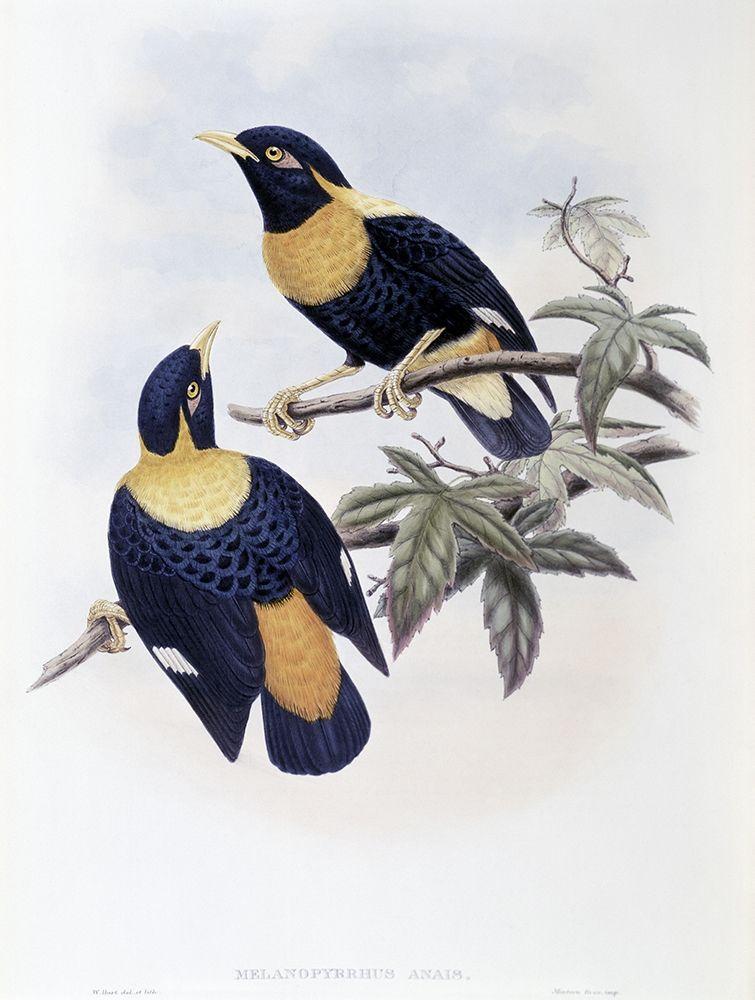 konfigurieren des Kunstdrucks in Wunschgröße Orange-Crested Starling von Gould, John