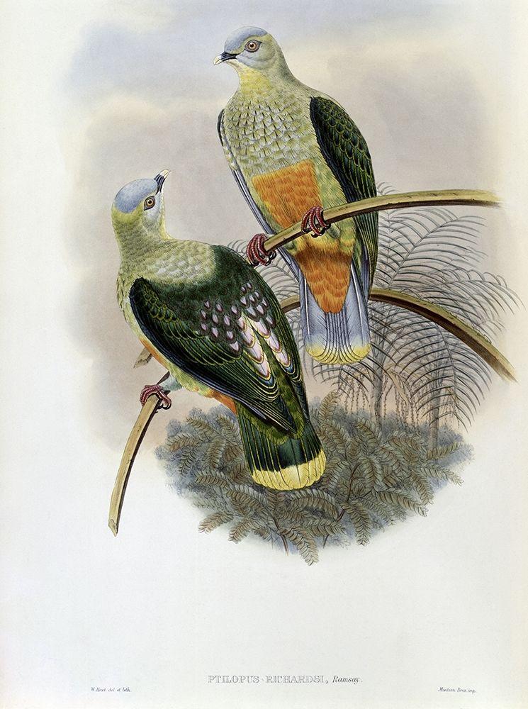 konfigurieren des Kunstdrucks in Wunschgröße Richards Fruit-Pigeon von Gould, John