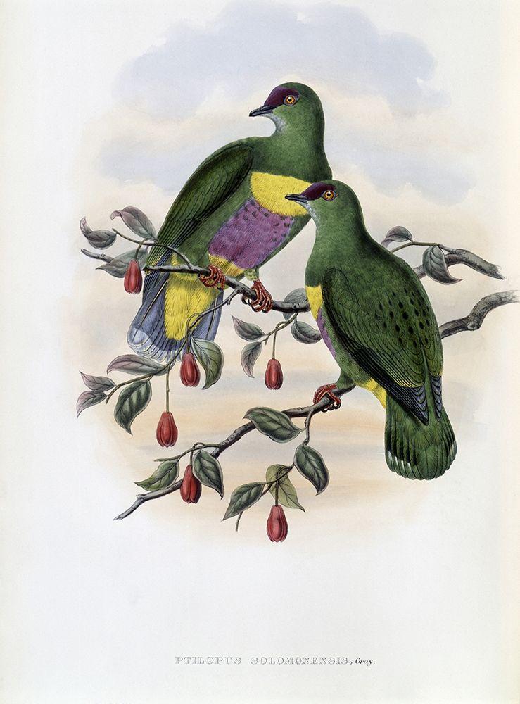 konfigurieren des Kunstdrucks in Wunschgröße Solomon-Island Fruit-Pigeon von Gould, John