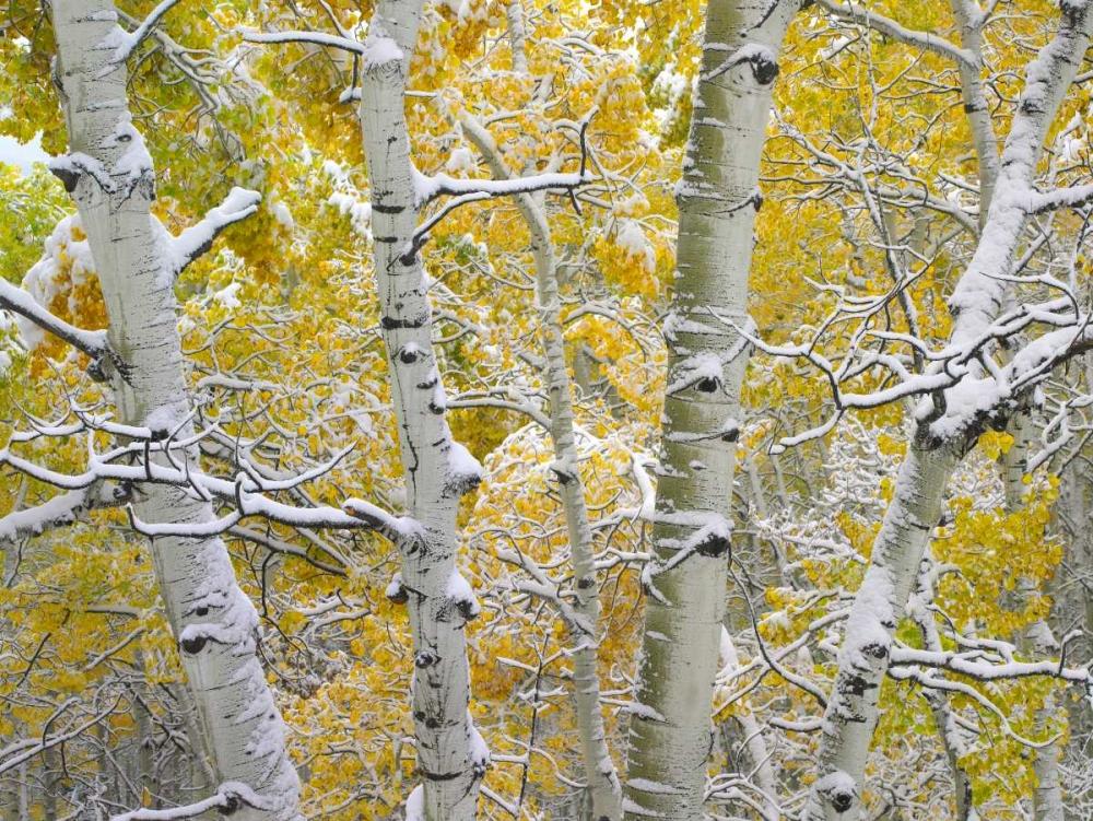 konfigurieren des Kunstdrucks in Wunschgröße Snow-covered Aspen forest near Kebbler Pass, Gunnison National Forest, Colorado von Fitzharris, Tim