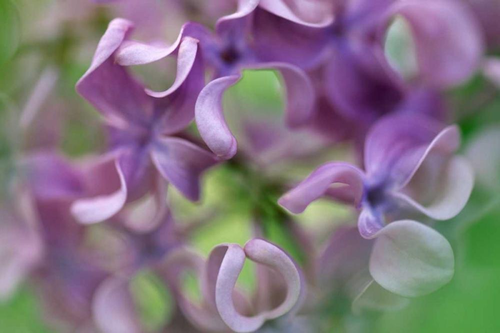 konfigurieren des Kunstdrucks in Wunschgröße Lilac flower, close up of purple petals von Vermeer, Jan