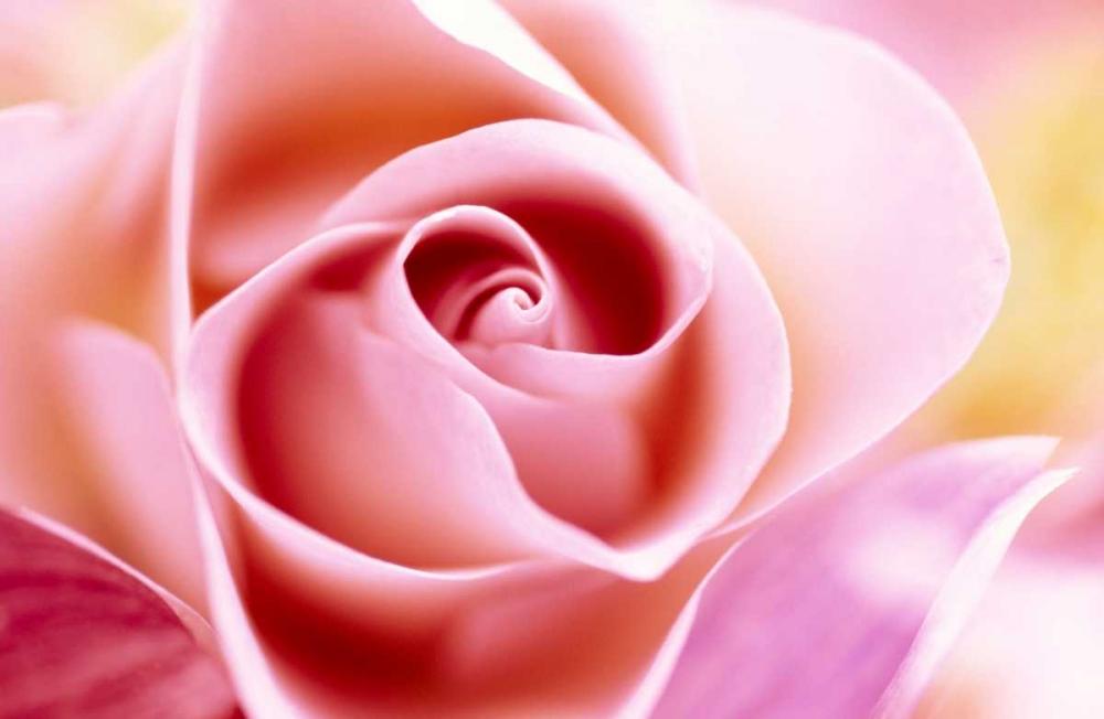 konfigurieren des Kunstdrucks in Wunschgröße Rose close up of pink flower in a bouquet, North America and Europe von Vermeer, Jan
