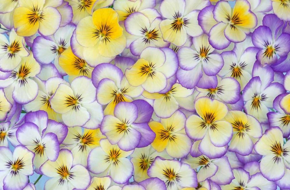 konfigurieren des Kunstdrucks in Wunschgröße Violet flowers in white, yellow and purple, Europe and North America von Vermeer, Jan
