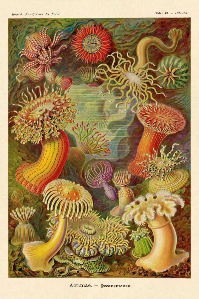 konfigurieren des Kunstdrucks in Wunschgröße Haeckel Nature Illustrations: Actiniae von Haeckel, Ernst
