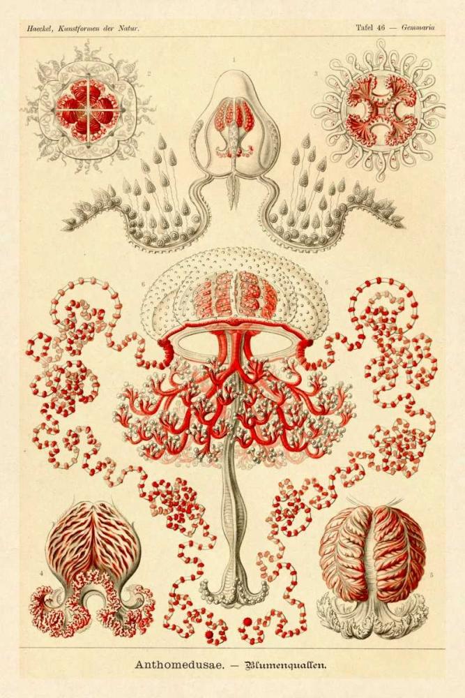konfigurieren des Kunstdrucks in Wunschgröße Haeckel Nature Illustrations: Anthomedusae von Haeckel, Ernst
