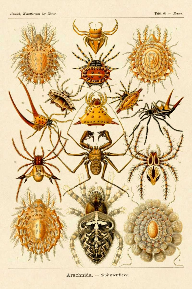 konfigurieren des Kunstdrucks in Wunschgröße Haeckel Nature Illustrations: Spiders von Haeckel, Ernst