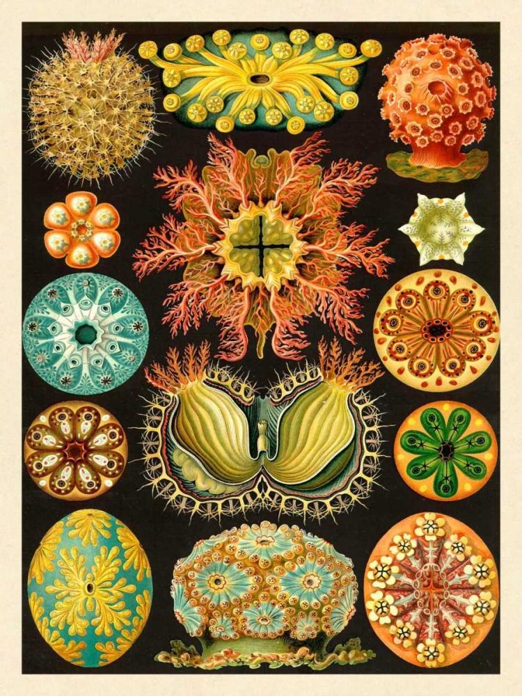 konfigurieren des Kunstdrucks in Wunschgröße Haeckel Nature Illustrations: Ascidiae von Haeckel, Ernst