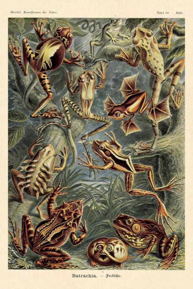 konfigurieren des Kunstdrucks in Wunschgröße Haeckel Nature Illustrations: Frogs von Haeckel, Ernst