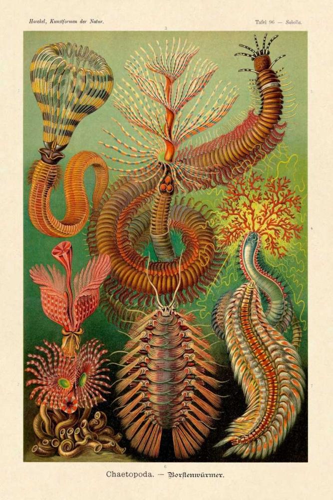 konfigurieren des Kunstdrucks in Wunschgröße Haeckel Nature Illustrations: Worms von Haeckel, Ernst