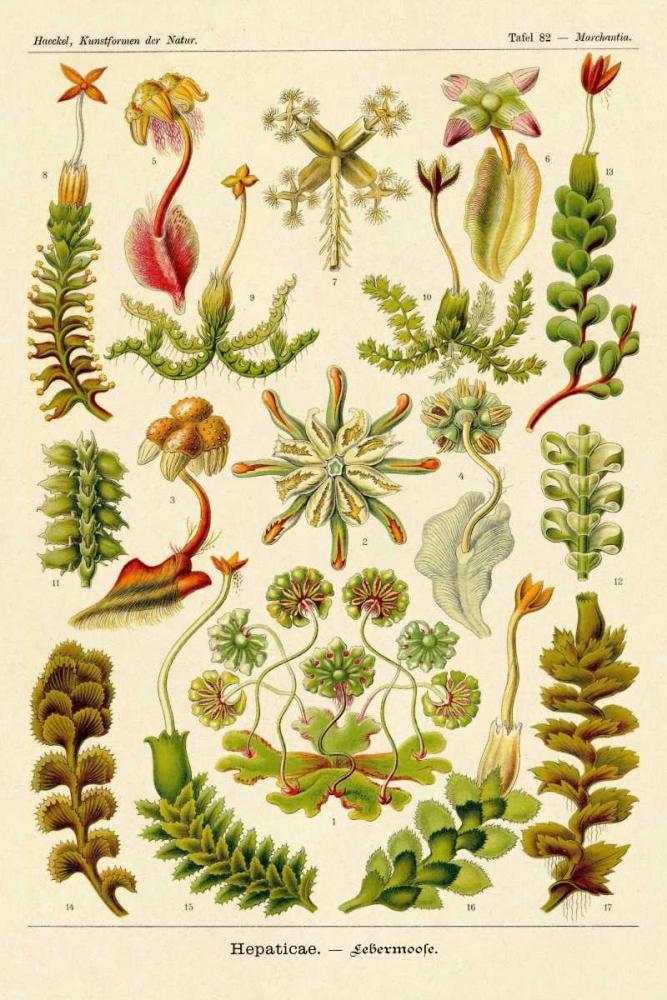 konfigurieren des Kunstdrucks in Wunschgröße Haeckel Nature Illustrations: Corals von Haeckel, Ernst