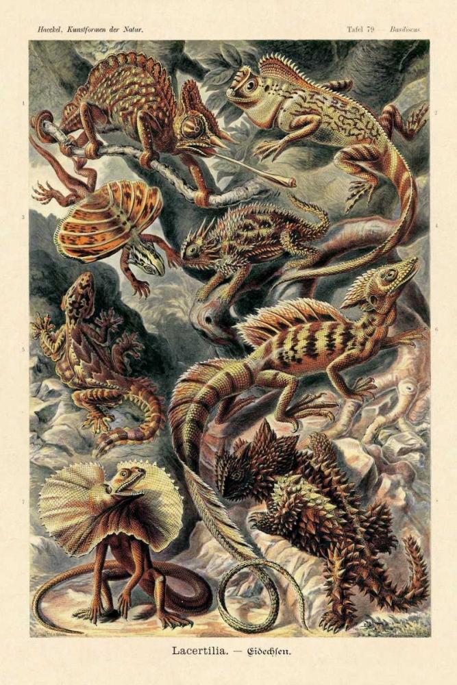 konfigurieren des Kunstdrucks in Wunschgröße Haeckel Nature Illustrations: Lizards von Haeckel, Ernst
