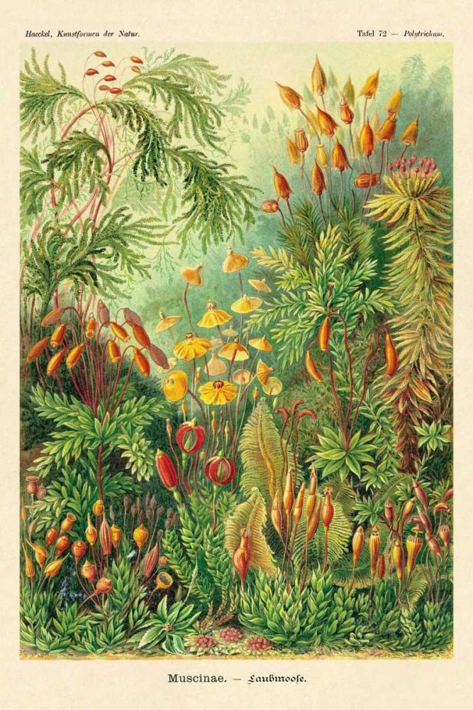 konfigurieren des Kunstdrucks in Wunschgröße Haeckel Nature Illustrations: Muscinae von Haeckel, Ernst