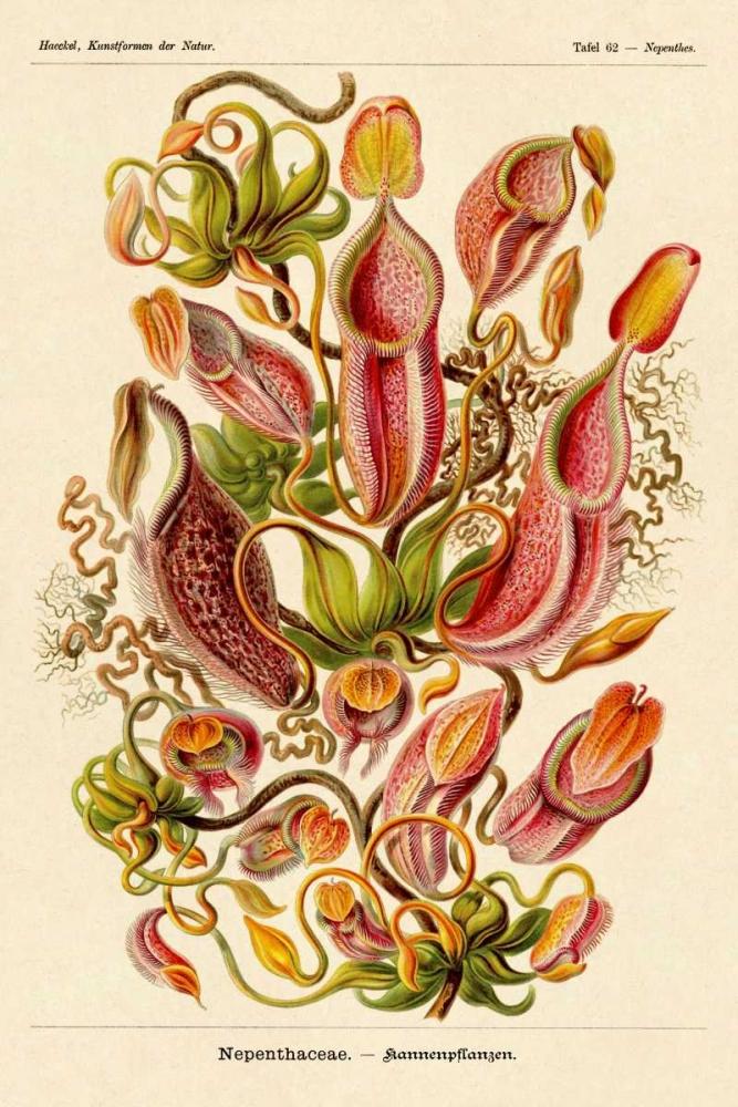 konfigurieren des Kunstdrucks in Wunschgröße Haeckel Nature Illustrations: Pitcher Plants von Haeckel, Ernst
